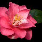 Camellia by Krys Bailey