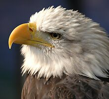 Thoughtful American Bald Eagle by Jonathan Goddard