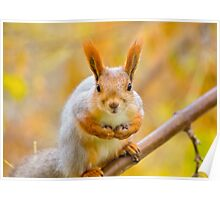 Red euroasian squirrel on the maple branch Poster