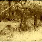 Montana Pines by Rene Hales