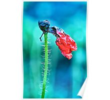 faded poppy flower hanging on the stalk Poster