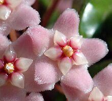 Hoya Flower by Danielle Girouard