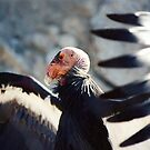 California Condor by CarolM