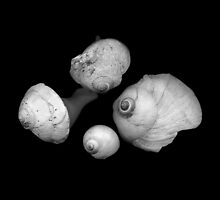 Four Shells by Jeffrey  Sinnock