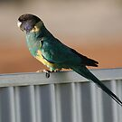 Australian Ringneck by Stuart Cooney