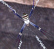 St Andrews Cross Spider by HayleyJS