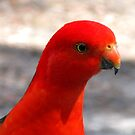 Australian King Parrot by Marilyn Harris