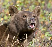 Brown - Black  Bear of Waterton National Park by j Kirk Photography                      Kirk Friederich