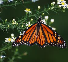 Female Monarch Butterfly. by barnsis