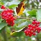 Red Berries by Trevor Kersley