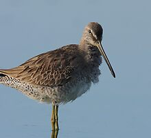 Dowitcher by tomryan