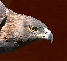 Golden Eagle - Look of Determination by John Absher