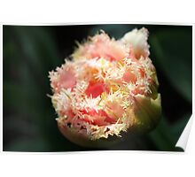 Pink Parrot Tulip Poster