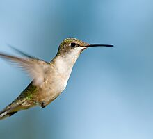 Hummingbird Stare by Bonnie T.  Barry