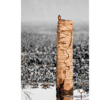 Kingfisher on a stump Photographic Print