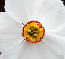 "Narcissus ""Actaea"" by Alison Cornford-Matheson"