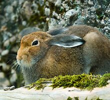 Sitting mountain hare  by peterwey