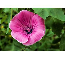 Early Summer Blooms Impressions - Bright Pink Malva Photographic Print