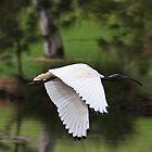 White Ibis In Flight by Evita