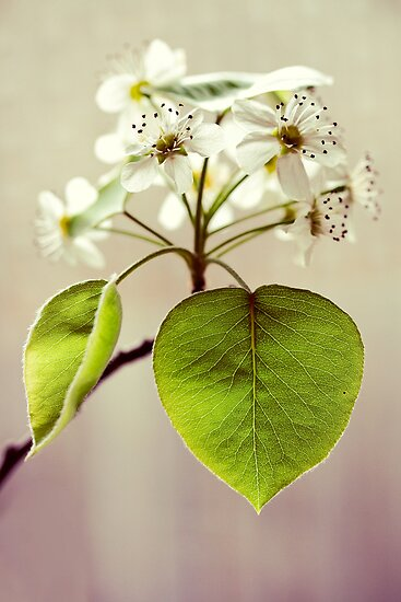 heart of the blossom. by narelle sartain