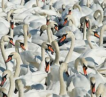 A Whiteness of Swans by Anthony Gregory
