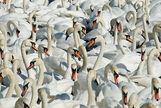 A Whiteness of Swans by John Anthony Photography