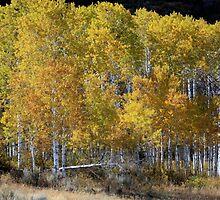 Aspen Changing Color by Deborah  Allen