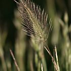 Wheat by livinoutbush