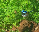 blue wren.. by Donovan wilson