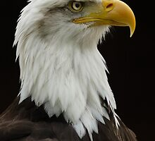 American Bald Eagle by Captivelight