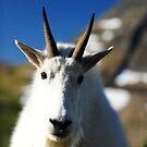 Mountain Goat Portrait, Glacier NP by artsphotoshop