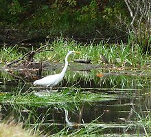 Great White Common Egret by Margie Avellino