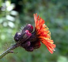 Orange Hawkweed by Len Bomba