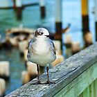Laughing Gull by Robert Brown