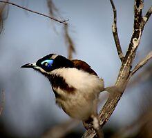 Blue Faced Honeyeater by myraj