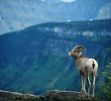 Big Horn Sheep 2, Glacier NP by artsphotoshop