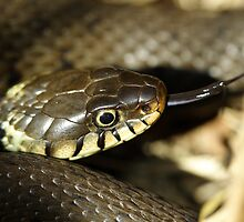 Grass snake, in the sun by Taka