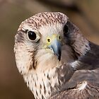 Saker Falcon by John Wright