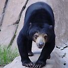 Sun Bear by Anne Smyth