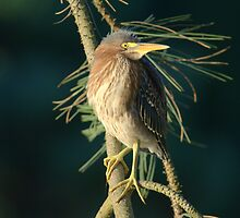 Young Green Heron by j Kirk Photography                      Kirk Friederich
