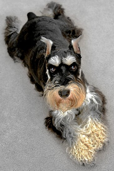 Graphics Portfolio Miniature Schnauzer Brave And Funny