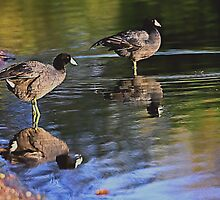 Coots by Marvin Collins