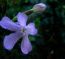 Lavender Dreams by Jen Millard