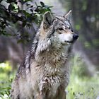 Portrait of a Wolf by cdudak