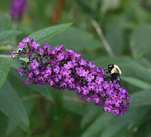 Bee Busy on Butterfly Bush  by Bonnie Boden