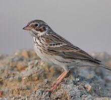 Vesper Sparrow by tomryan