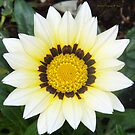 White Gazania by Virginia N. Fred