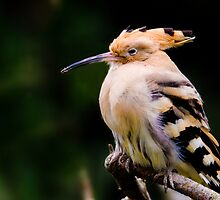 hoopoe sitting on a branch. by peterwey