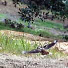 Kookaburra in Flight by echelle23