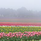 Wynyard's beautiful tulips, Tasmania by gaylene